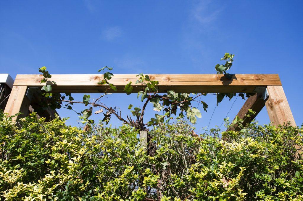 druivenstruik groeit over de pergola